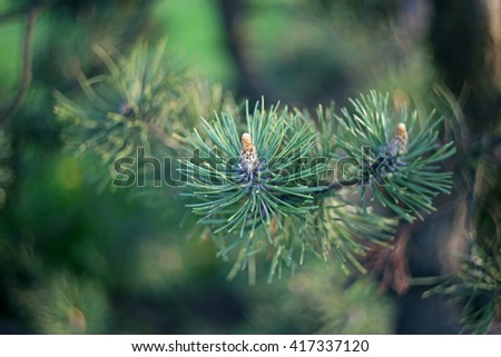 Green fir cones background - stock photo