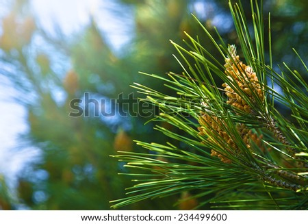 green fir tree or pine branches - stock photo