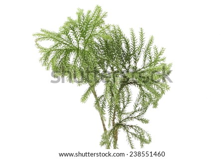 green fir-tree twigs on a white background - stock photo