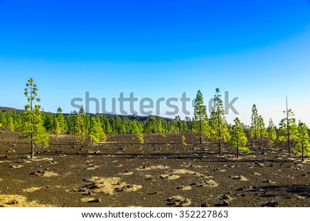 Green Fir Trees on Mountain Landscape on Tenerife Canary Island in Spain