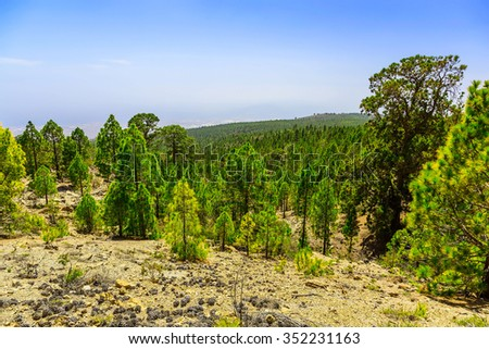 Green Fir Trees on Mountain Landscape on Tenerife Canary Island in Spain at Day