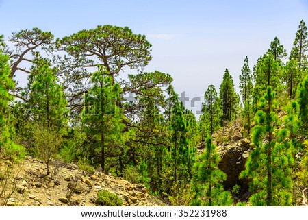 Green Fir Trees on Mountain Landscape on Tenerife Island in Spain
