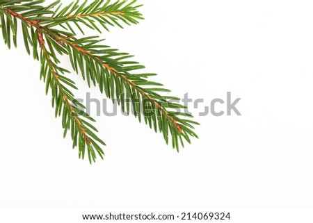 green fir twig on white background
