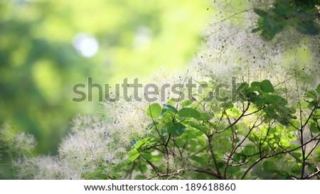 Green flower tree Cotinus coggygria or Smoketree - stock photo