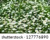 green flowering meadow with white daisies - stock photo