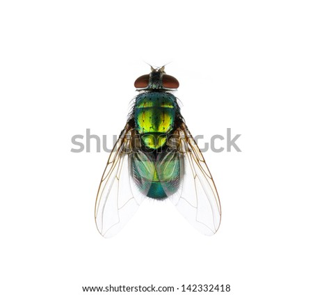 green fly isolated on white