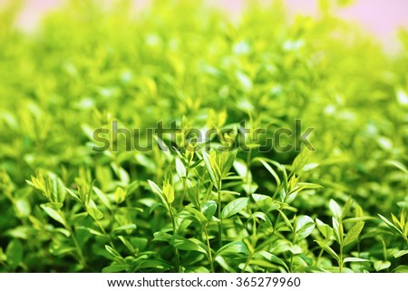 Green foliage background. Fresh green leaves with a soft smooth bokeh. Shallow depth of field. Selective focus. - stock photo