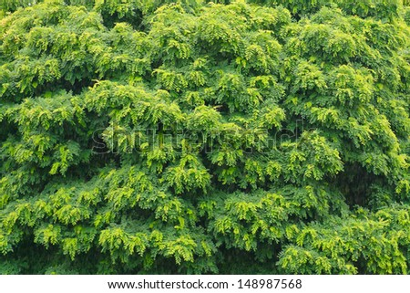 Green foliage of a Chinese wing nut tree in the rain.