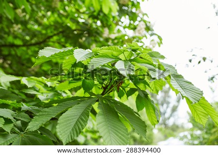 Green foliage of chestnut tree. Nature background - stock photo