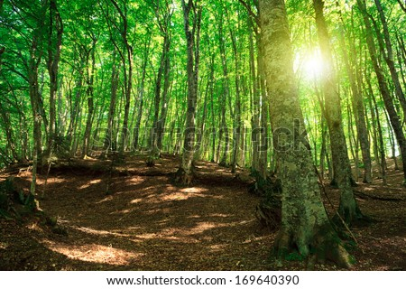 Green forest in Gambarie d'Aspromonte of Calabria Italy, with sunflare