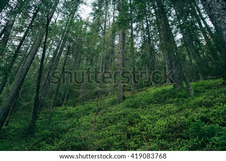 Green Forest.  Misty mountain pine forest  landscape.  - stock photo