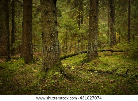 green forest of spruces - stock photo