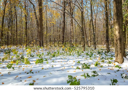 Green forest under snow on a sunny day. First snow on green leaves.