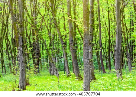 Green forest with trees and fresh spring foliage - stock photo