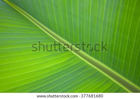 Green fresh banana leaf texture