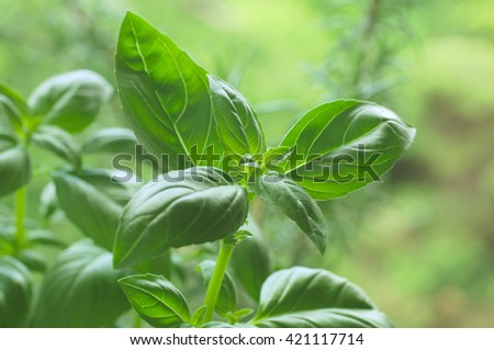 green fresh basil on forest background  - stock photo