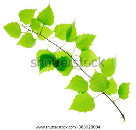 Green fresh birch twig isolated - stock photo