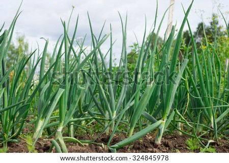 Green fresh garlic leaves growing in the garden. - stock photo
