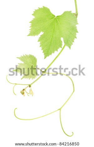 Green fresh grape vine leaves isolated on white, clipping path included - stock photo
