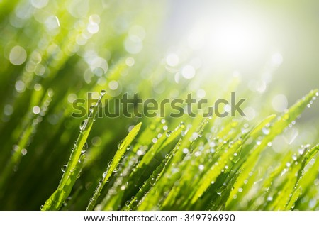 green fresh grass in morning dew with  spring with natural bokeh,spot focus,soft focus,close up with Shallow DOF. - stock photo