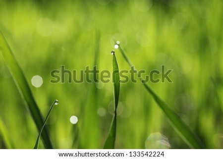 Green fresh grass with water drops, dew - stock photo