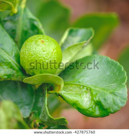green Fresh lime, Closeup Lemon, select focus with shallow depth of field.