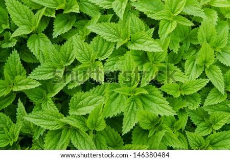 Green fresh nettles background - stock photo
