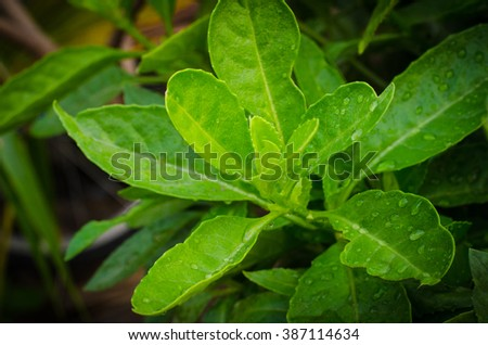 green fresh. Rain drops on fresh green leaves. Green background.grass and dew abstract background.Beautiful green leaf with drops of water.closeup fresh green leaves.leaf pattern.Green leafs pattern - stock photo
