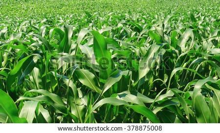 Green fresh young corn field - Agriculture - stock photo