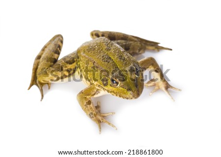 Green frog alive isolated on a white background - stock photo