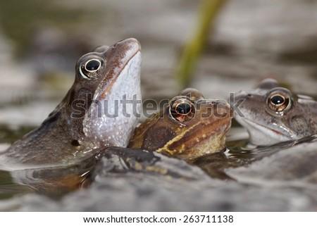 Green Frog, Bronze Frog, Rana clamitans - stock photo