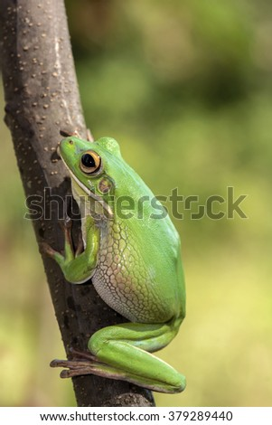 Green frog climbing up a tree branch