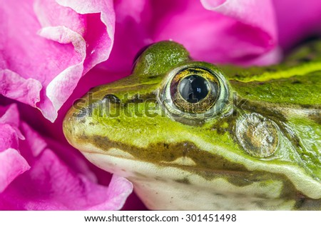 Green Frog close - stock photo
