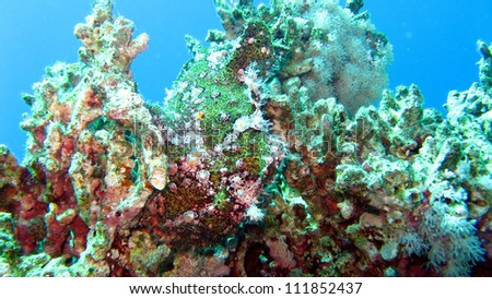 Green Frog fish,Red Sea