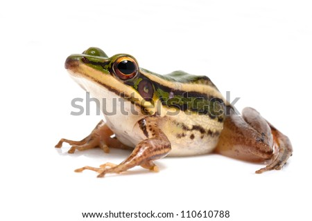green frog (green paddy frog) on white background - stock photo