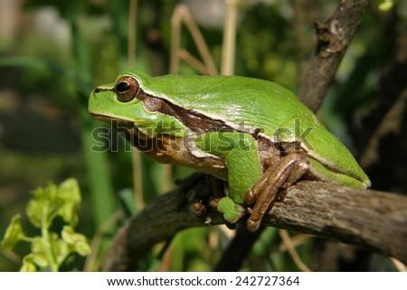 green frog in the bush in the garden - stock photo