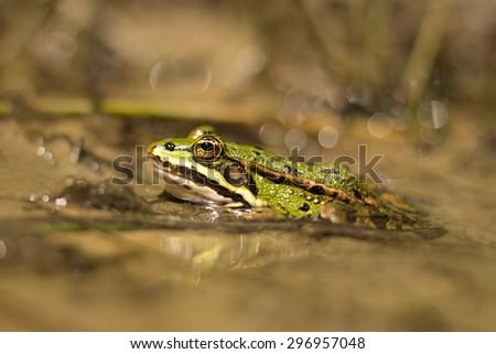 green frog in the pond (Rana esculenta) - stock photo
