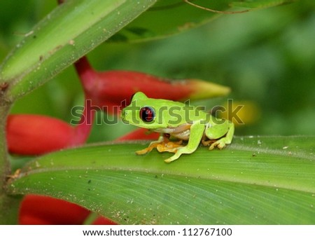 Green frog in the rainforest - Red-eyed Treefrog, Agalychnis callidryas, on heliconia flower leaf in Costa Rica - stock photo
