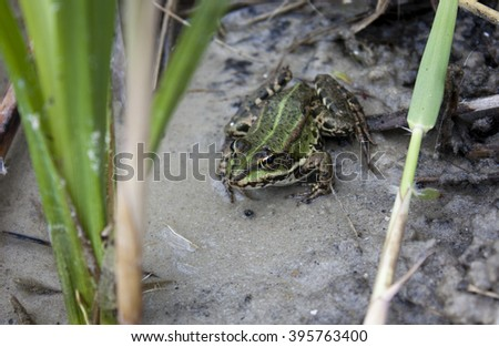 green frog in the water the grass - stock photo
