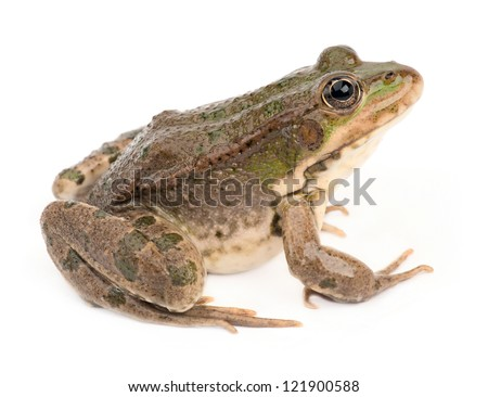 Green frog isolated - stock photo