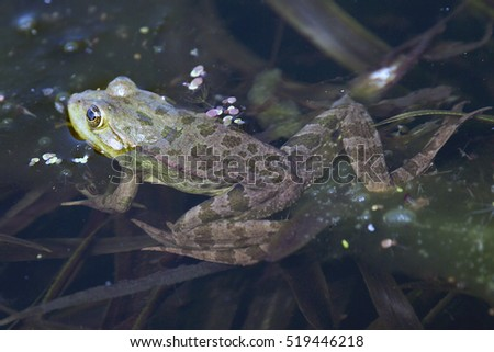 Green Frog, (Marsh/Pond/Edible Frog, Pelophylax sp), Danube Delta, Romania.