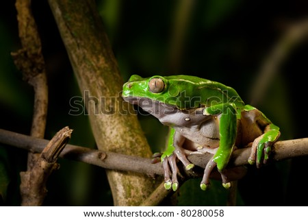 green frog on branch of tropical rain forest. Amazon amphibian sitting in jungle. Macro of a night animal. - stock photo