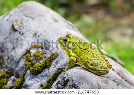 Green Frog on Rock Outdoors - stock photo