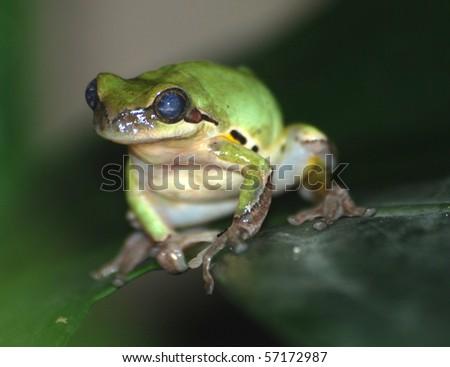 green frog on tree - stock photo