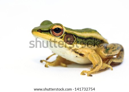 Green frog on white background - stock photo