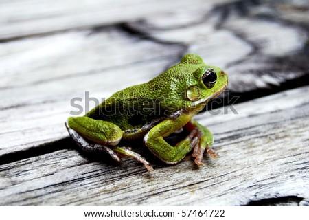 green frog on wood - stock photo