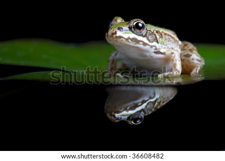green frog prince waiting for his princess to kiss him pond frog Pelophylax lessonae sitting on a water lily amphibian with reflection in the water - stock photo
