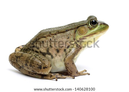 Green frog (Rana clamitans) - stock photo