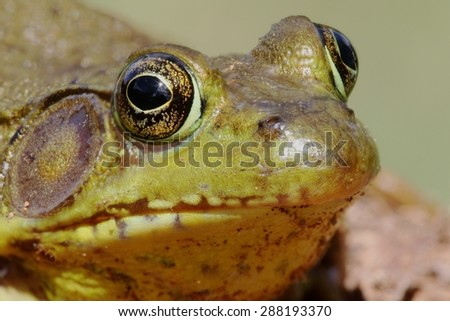 Green Frog (Rana clamitans) on a log with a colorful background - stock photo