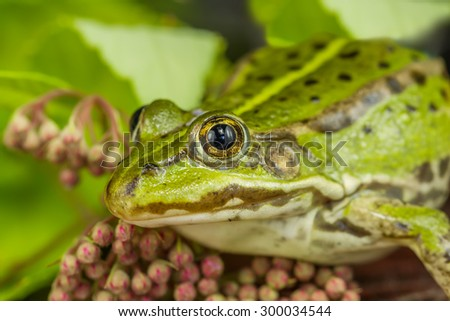 Green frog Ready To Hunting - stock photo
